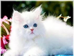 белые котята с голубыми глазами